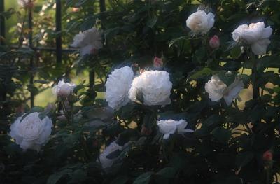 rose1103