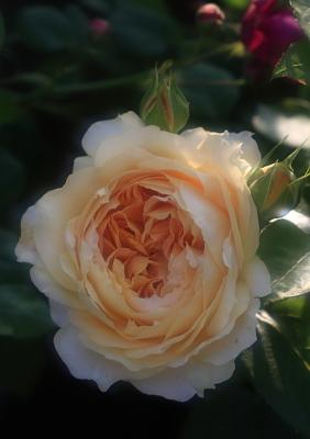 rose1104