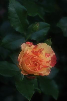rose1106