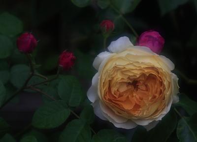 rose1107