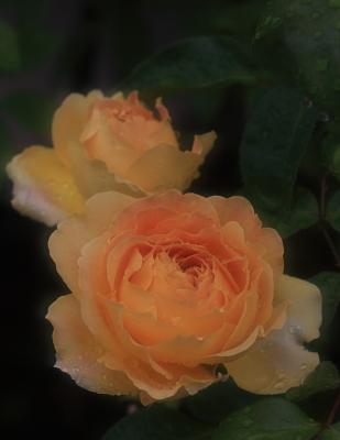 rose1108