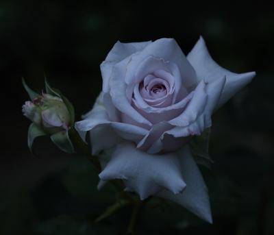 rose1111