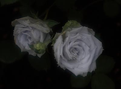 rose1112.