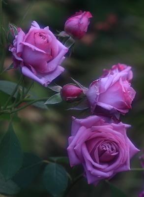 rose1113