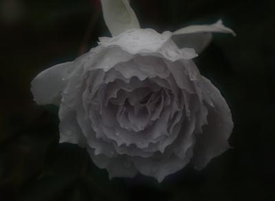 rose1114