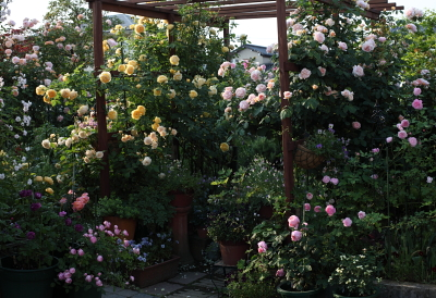 rose1117.