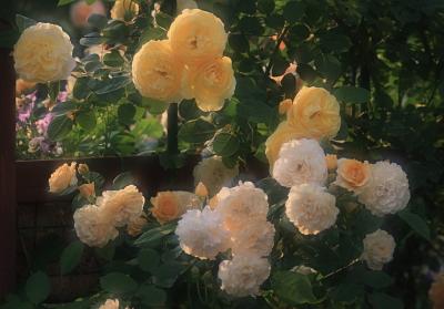 rose1118