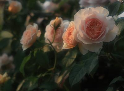 rose1119