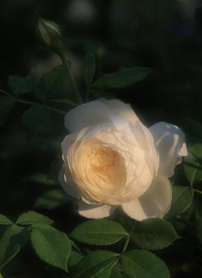 rose1120