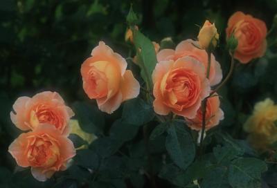 rose1121