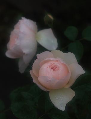 rose1122