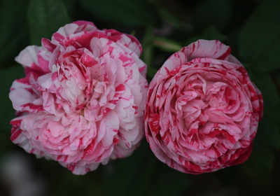 rose1126
