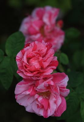 rose1127