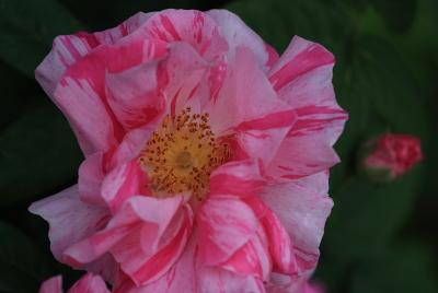 rose1128