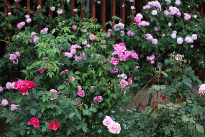 rose1129