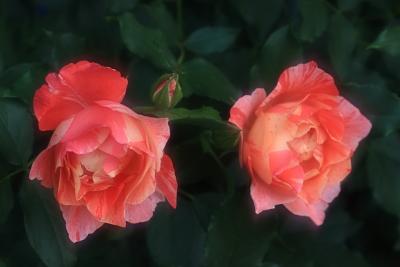 rose1130