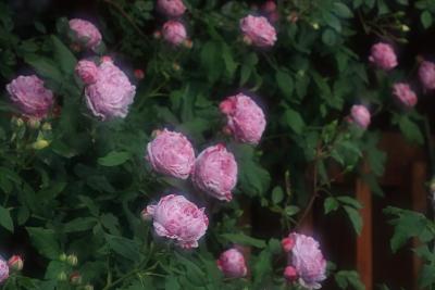 rose1131