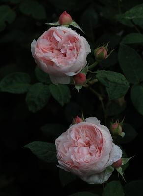 rose1133