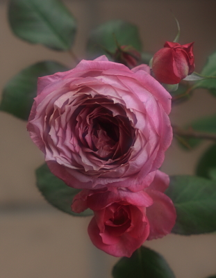 rose1134