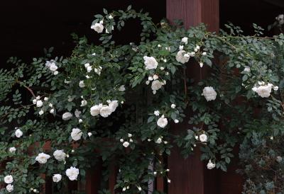 rose1135