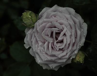 rose1136