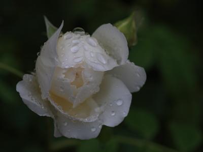 rose1138