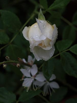 rose1139