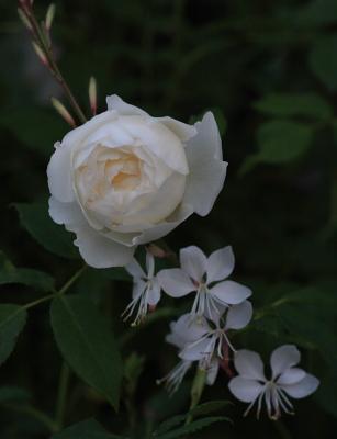 rose1140