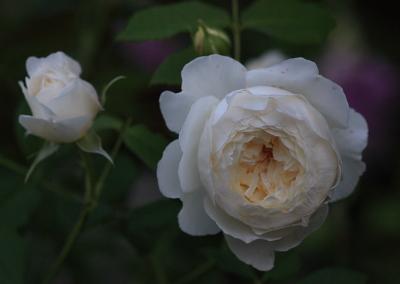 rose1141