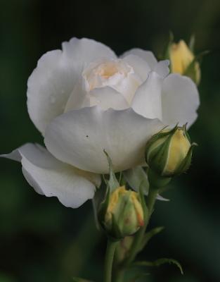 rose1143