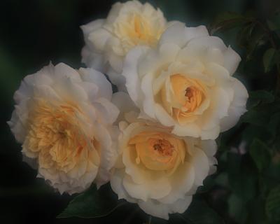 rose1145