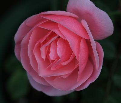 rose1146