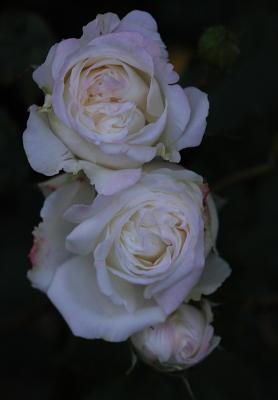 rose1147.
