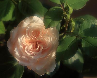 rose1148