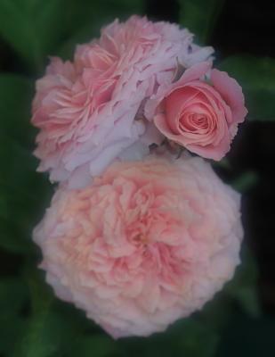 rose1149
