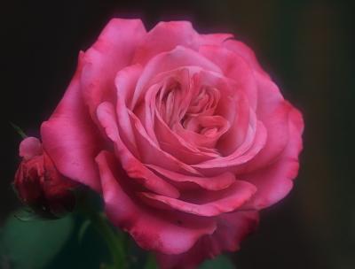 rose1150