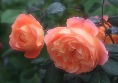 rose1153
