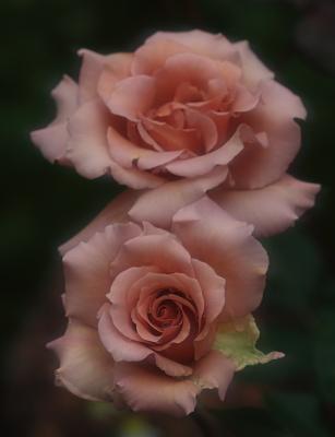 rose1154