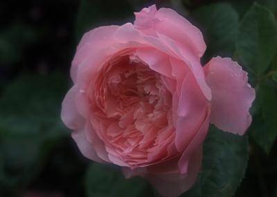 rose1156
