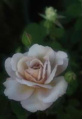 rose1157