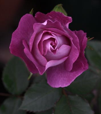 rose1158