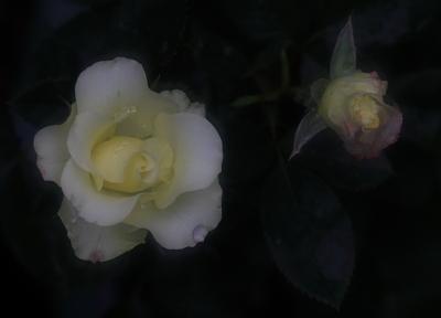 rose1160