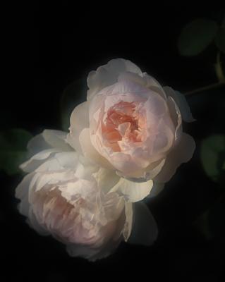 rose1161