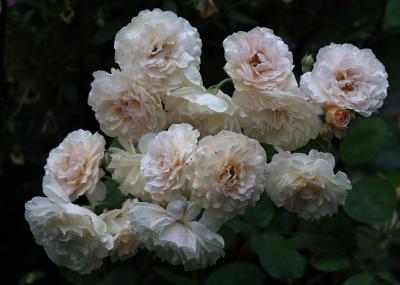 rose1162