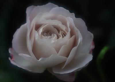 rose1163