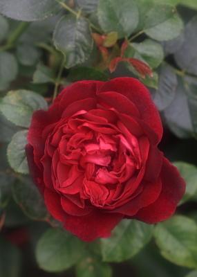 rose1164