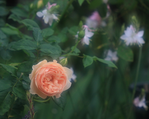 rose1166