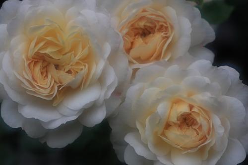 rose1169