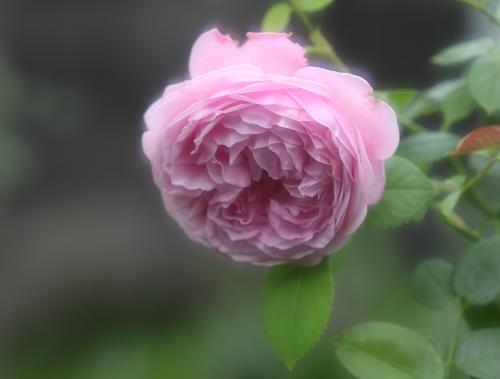 rose1170