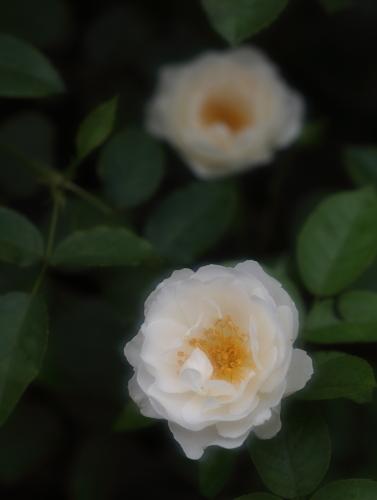 rose1171